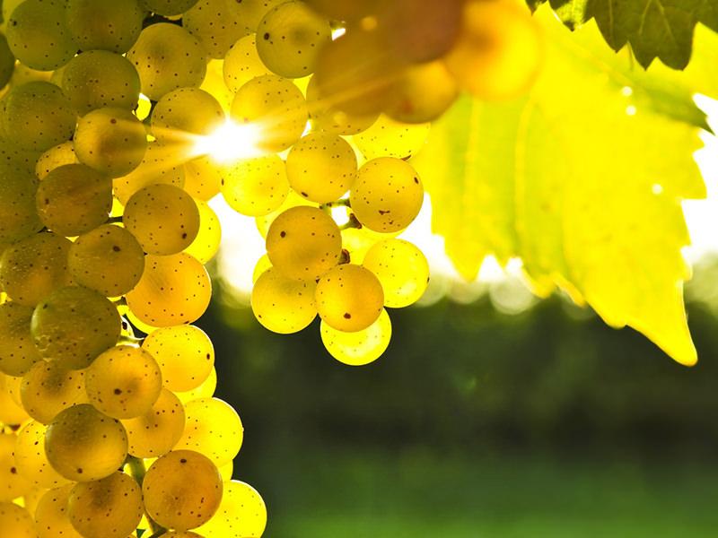 Масло виноградных косточек: польза и вред, советы по применению