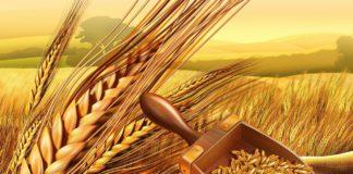 Зародыши пшеницы: польза и вред. Советы по применению