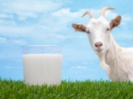 Козье молоко: польза и вред, применение, отзывы