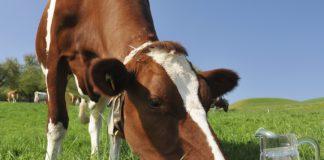 Коровье молоко вред и польза