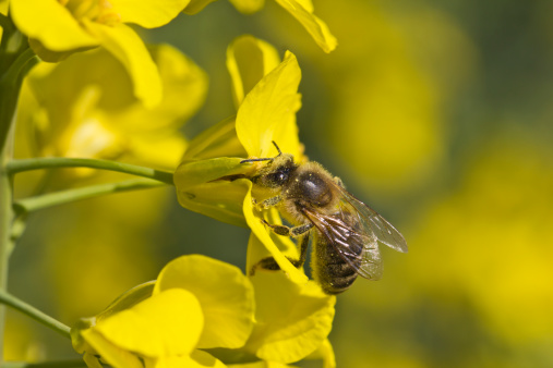 Рапсовый мед: польза и вред