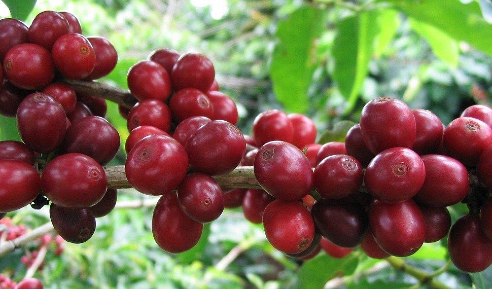 зерна кофе на ветке