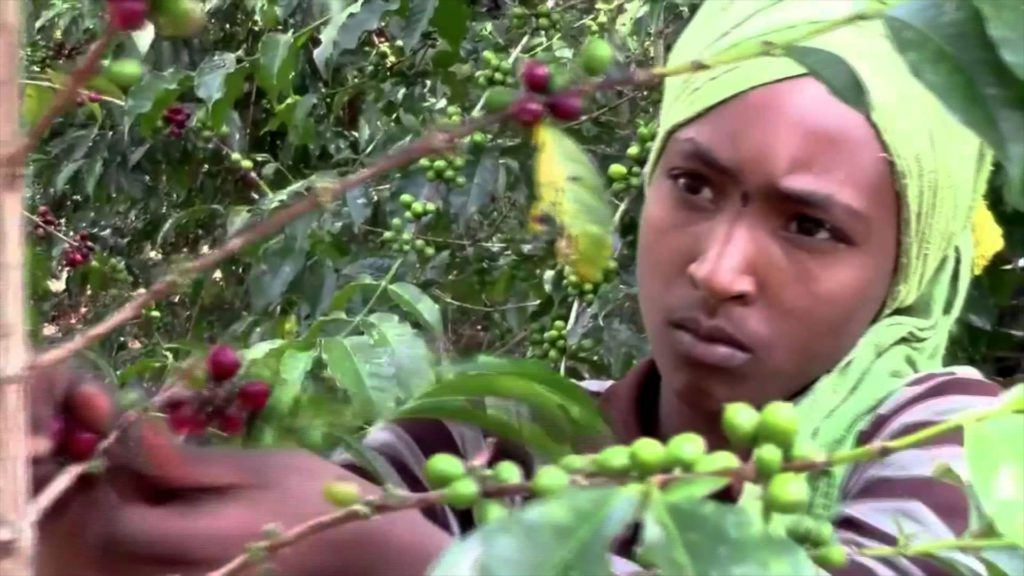 индианка собирает кофе