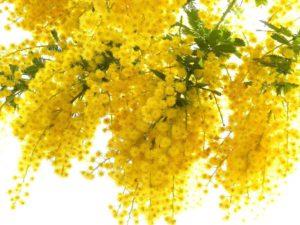 мимоза цветок