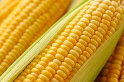 Кукуруза: польза и вред, калорийность