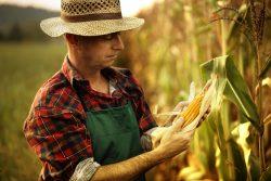 Какая кукуруза полезнее?
